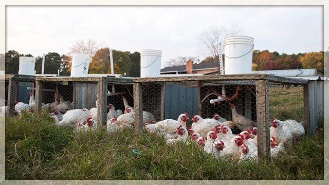 broiler-chickens